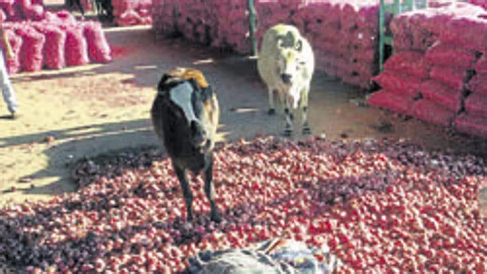 Onions,Bhopal,Bumper onion harvest
