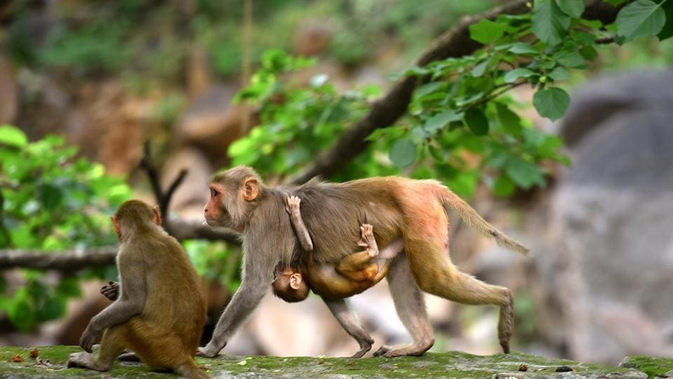Locals blame the government authorities for shifting the problem of monkey menace from the city to its fringes