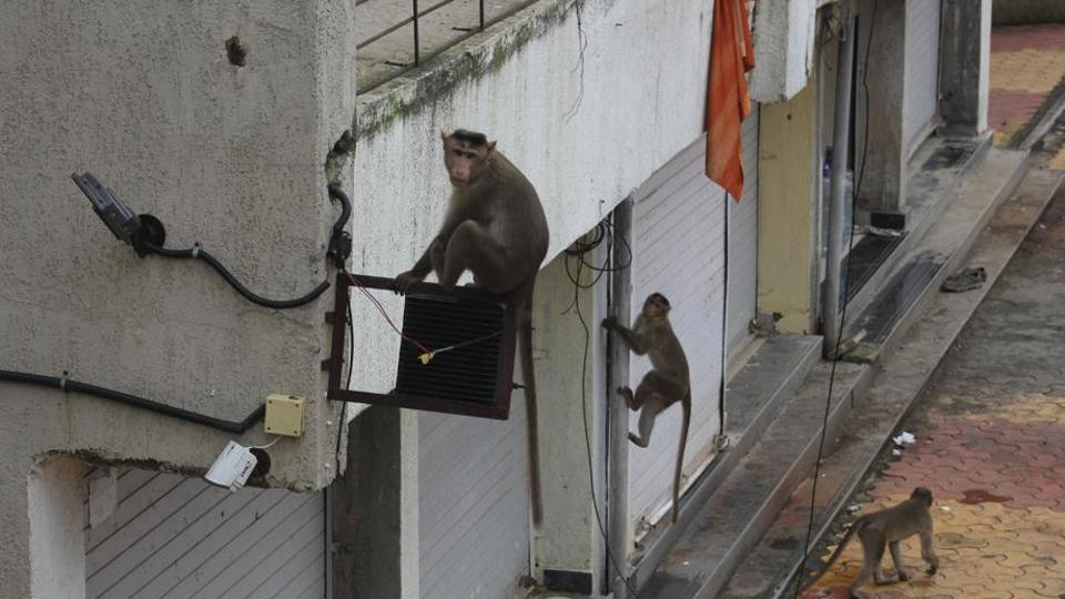 Monkeys from SGNP entered Thane's Haware city on Ghodbunder Road, spreading fear among residents.