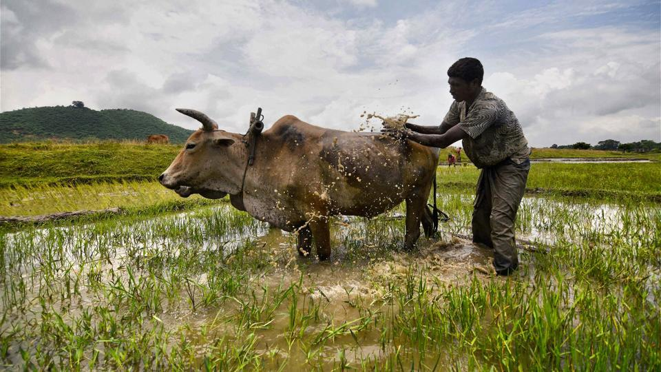A farmer cleans his ox as he ploughs a paddy field on the outskirts of Guwahati. (PTI)