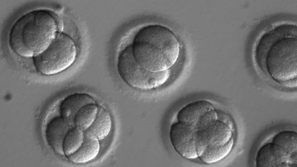 In this file photo, human embryos grow in a laboratory for a few days after researchers used gene editing technology to successfully repair a heart disease-causing genetic mutation.