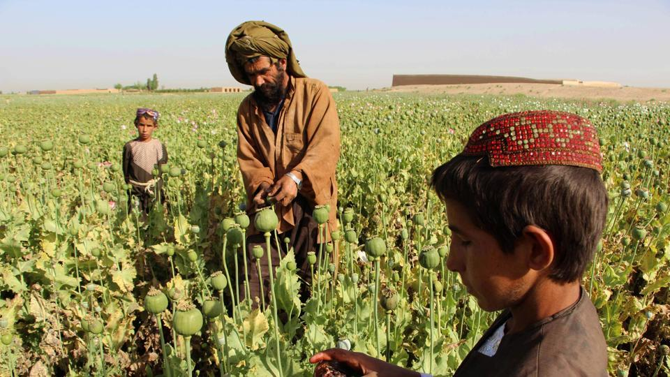 (FILES) This file photo taken on April 11, 2017 shows Afghan farmers harvesting opium sap from a poppy field in the Gereshk district of Helmand. The Taliban -- which banned poppy cultivation when it ruled Afghanistan -- now appears to wield significant control over the war-torn country's heroin production line.