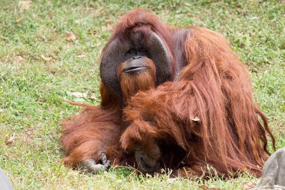 Zoo Atlanta photo shows Chantek the orangutan after the passing of the male orangutan who was among the first apes to learn sign language, in this photo released on social media in Atlanta, Georgia, U.S., August 7, 2017.