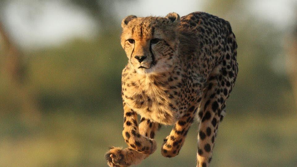 Supreme Court,Cheetah,Wildlife