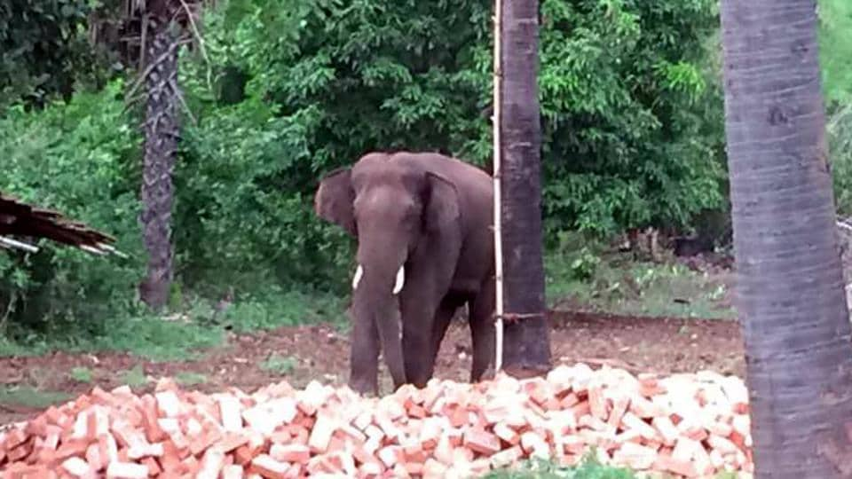 The wild elephant that killed 10 villagers over the last three months in Sahebganj.