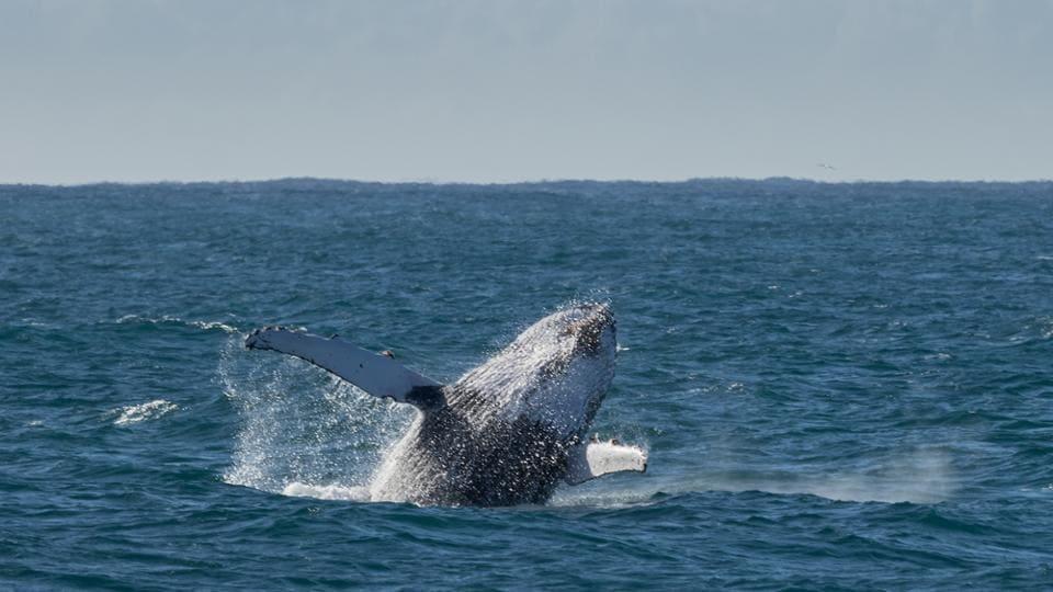 Watch 90 tonne whales swimming, peeking and making their way through the water near Kangaroo Island.