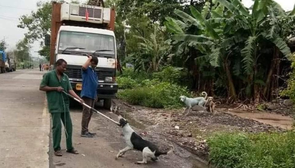 Thane SPCA members rounding up the dogs for treatment.