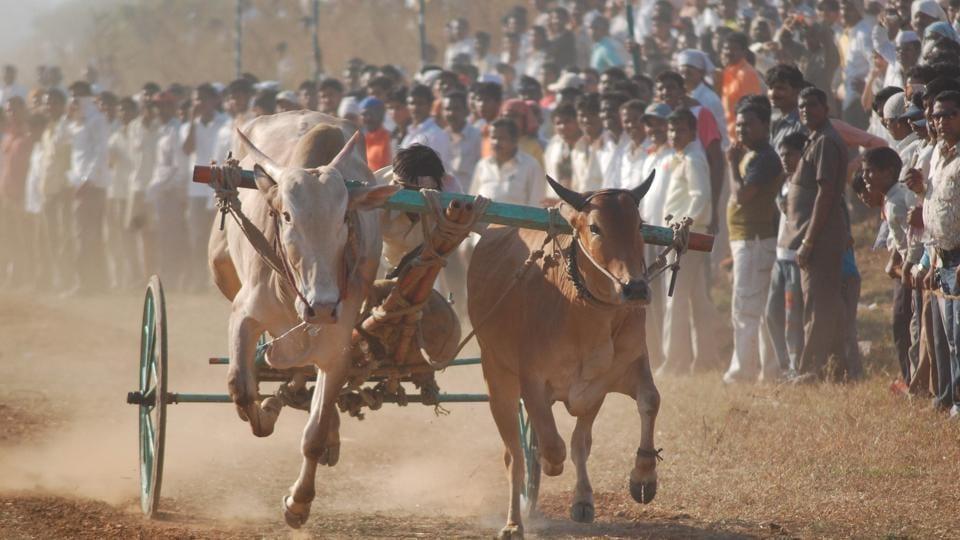 Mumbai,Maharashtra,bullock cart racing