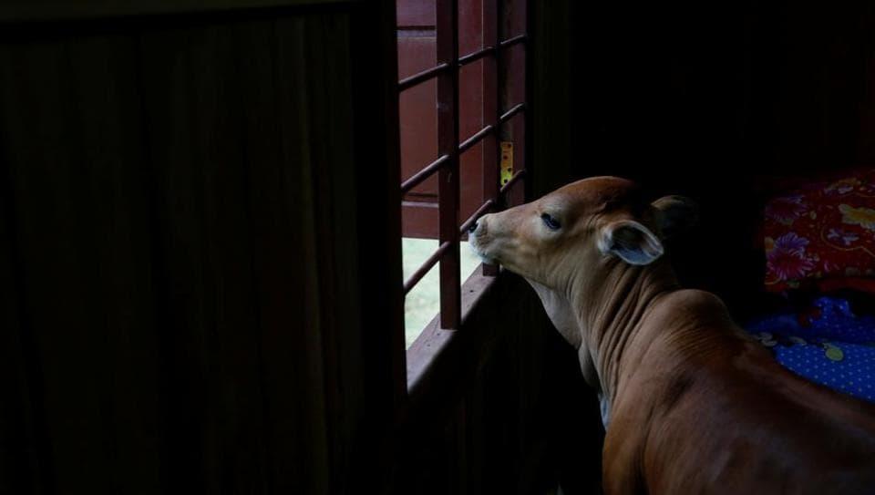 cattle,cow,Bihar