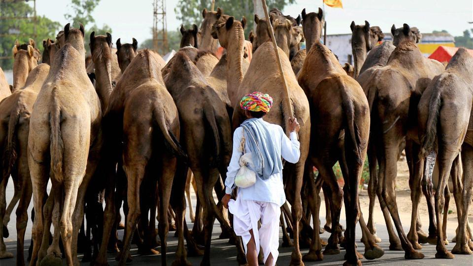Bakrid,Camel sacrifice,Lucknow district