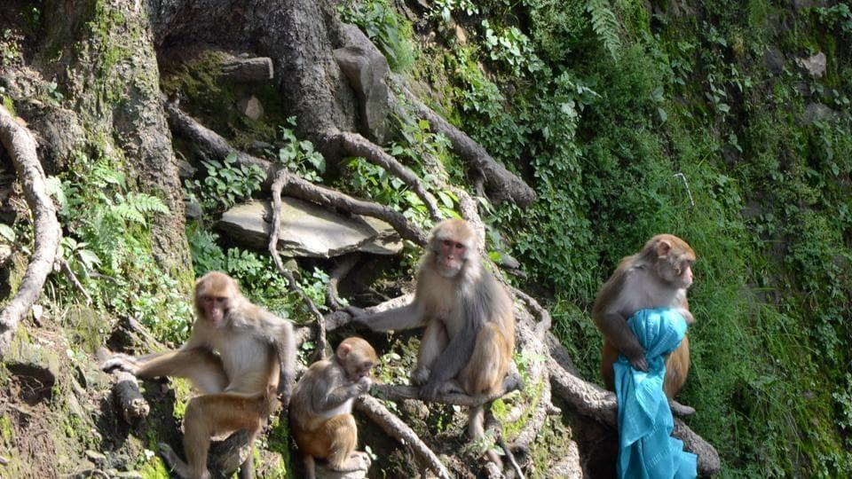 monkey,Shilma,Himachal