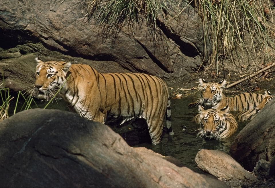 The last national estimation done in 2015 recorded 340 tigers in Uttarakhand, including 240 at Corbett reserve.