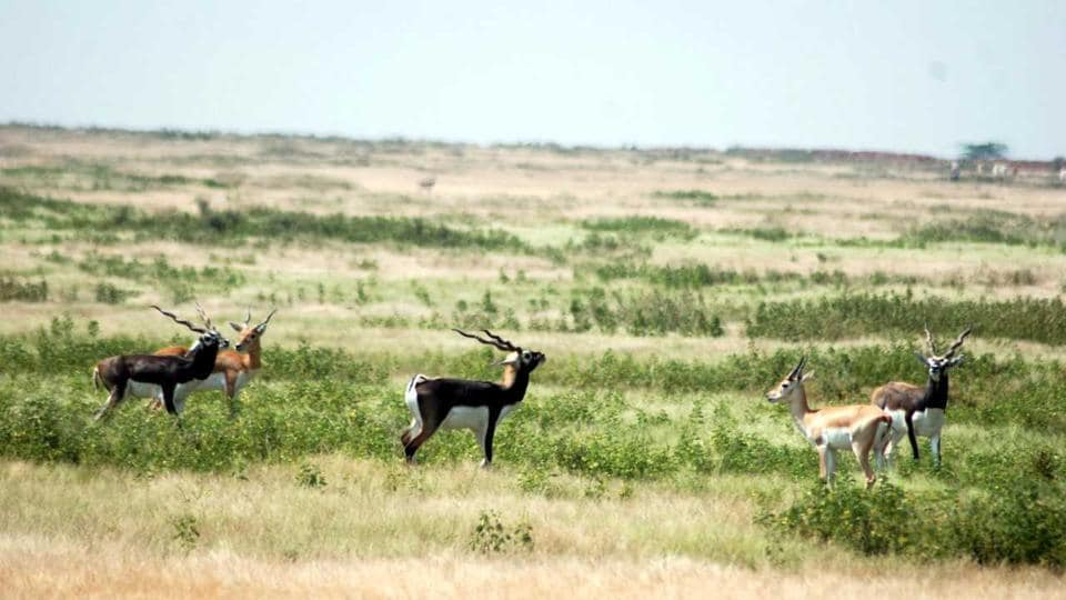 Rajasthan News,Mukundra,black bucks