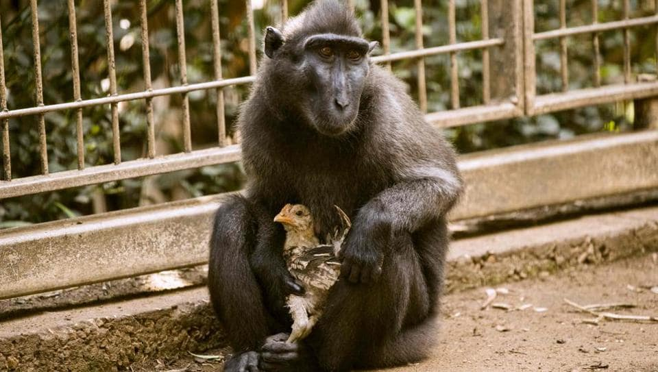 Ramat Gan Safari Park,Israel zoo,Indonesian black macaque