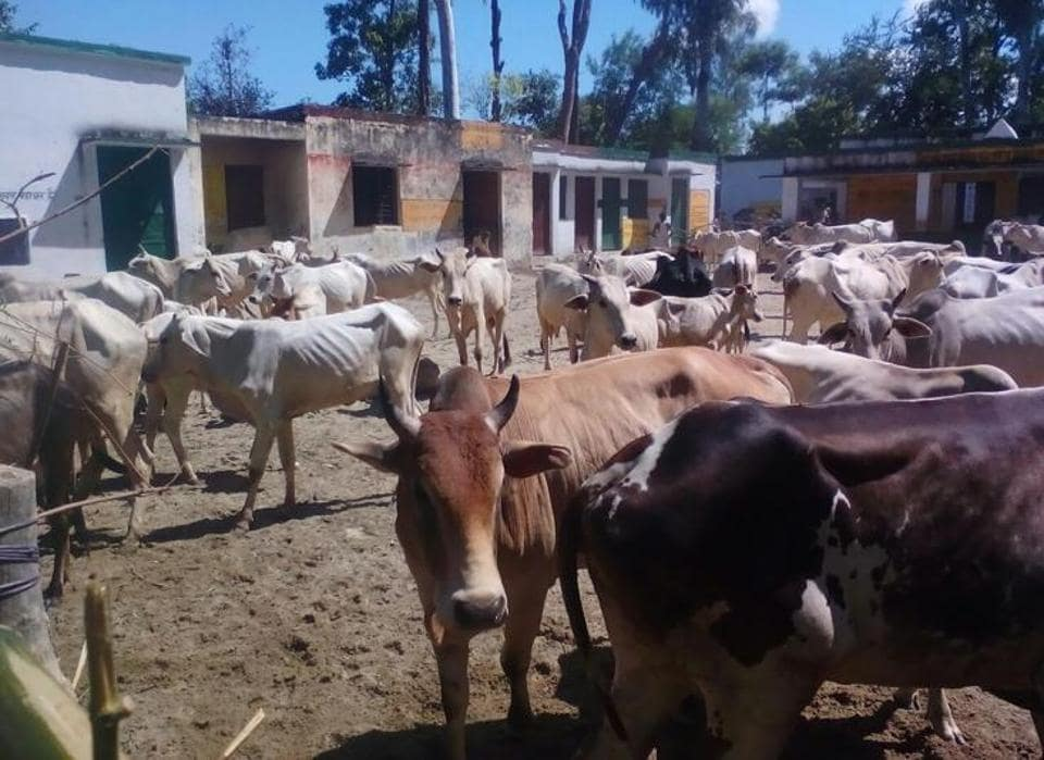 Uttar Pradesh,Angry villagers,Stray cows and bulls