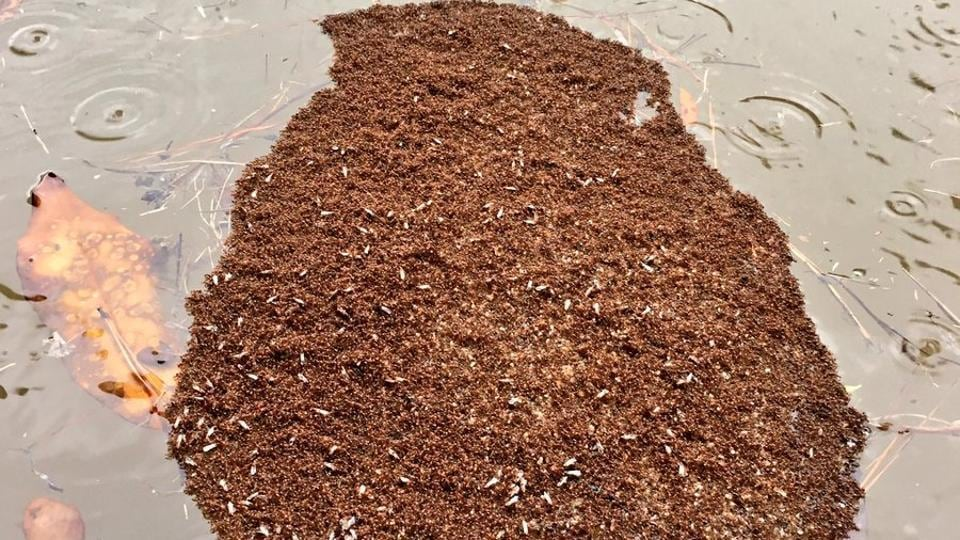 A colony of fire ants floating in flood waters.