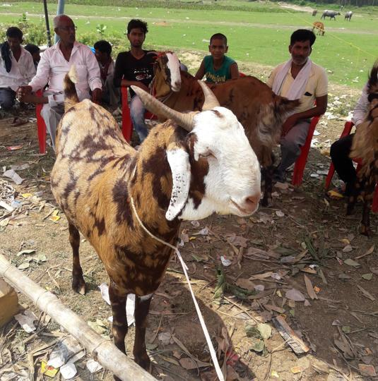 In fact, the 'Bakra Mandi' wore a deserted look.
