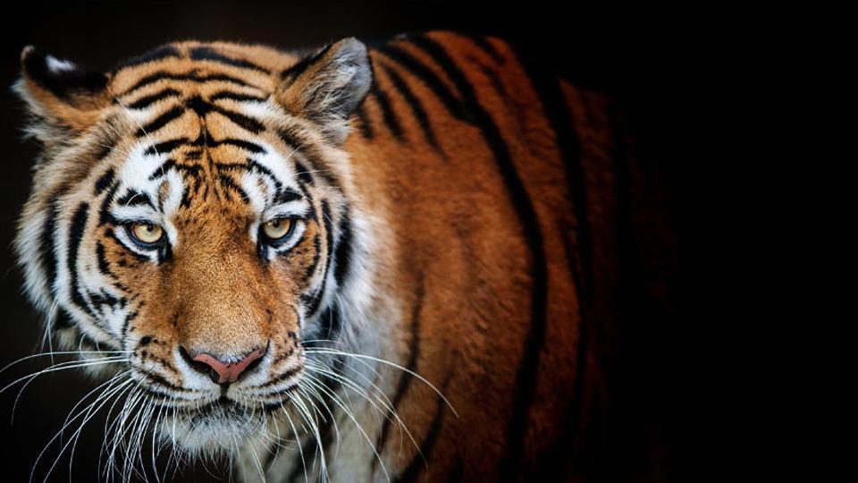Tiger,Tiger deaths,Katarniyaghat Wildlife Sanctuary