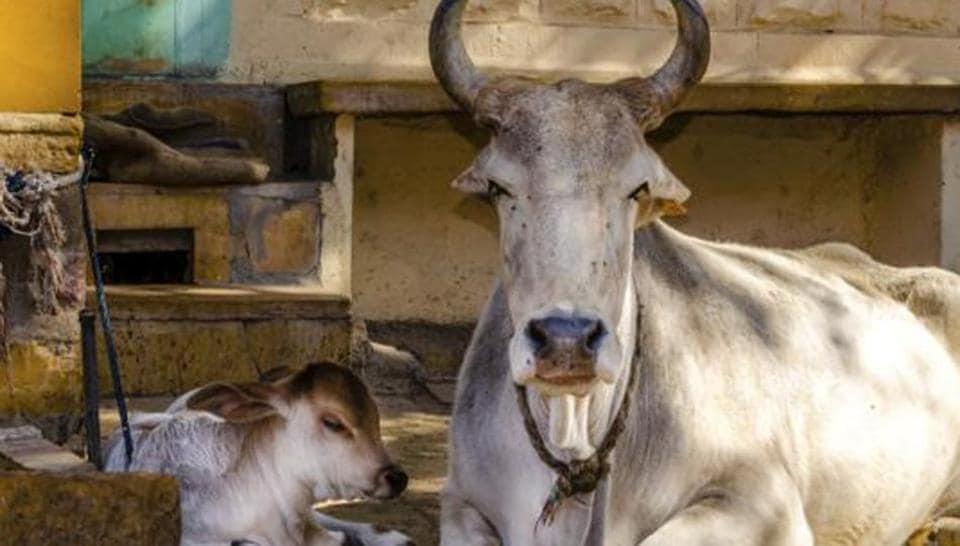 Qurbani,Cow,Buffalor