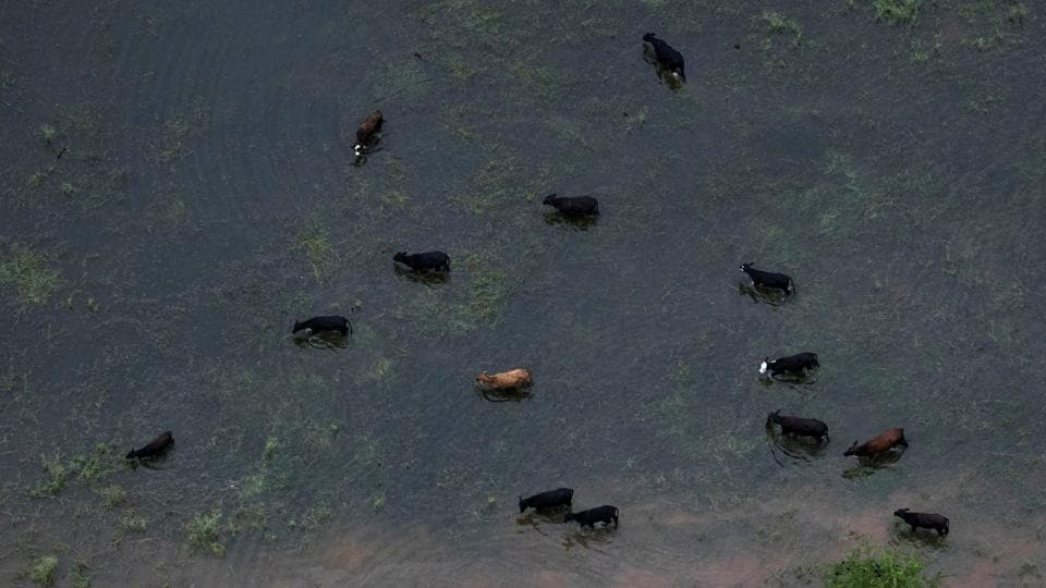 Cattle graze around flood waters caused by Tropical Storm Harvey near Sandy Point, Texas, U.S   (REUTERS)
