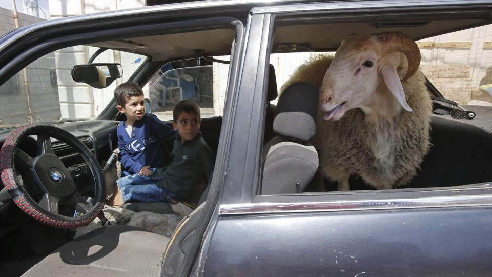 Palestinian children ride in a car with a ram sitting in the back seat, in the West Bank city of Hebron prior to commemoration on the first day of Eid al-Adha. (Hazem Bader / AFP)