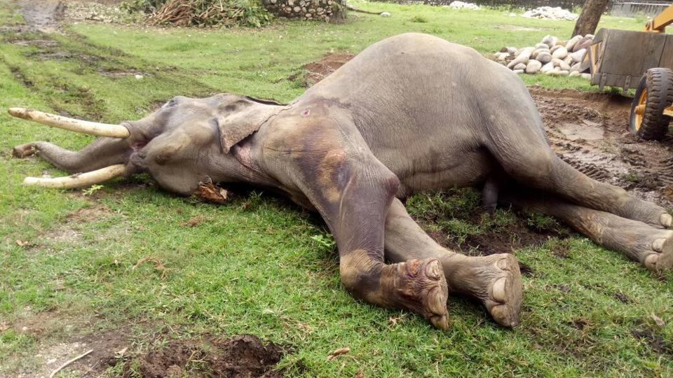 The tusks of the wild tusker penetrated the lungs of the departmental elephant that led to its death.
