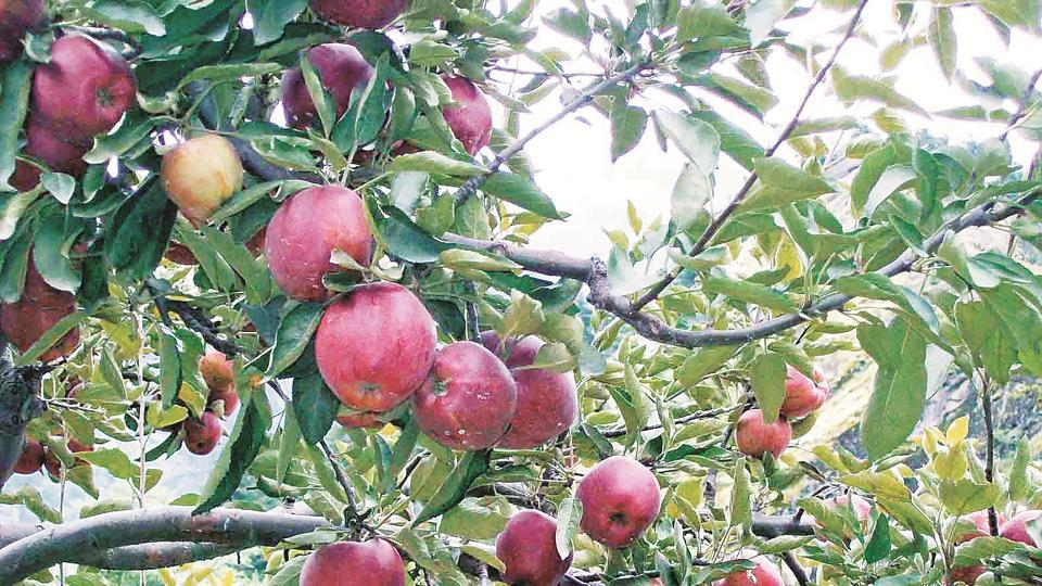 Under the project, hill farmers would be encouraged to grow apples in some 1,000 acre of farm land.