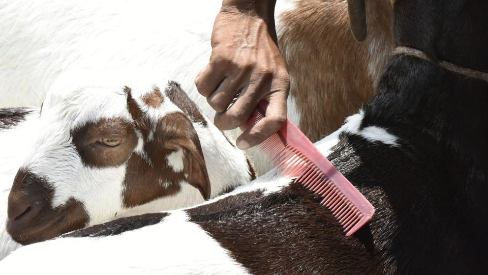 A man combs a goat's hair on sale at a market outside the Jama Masjid mosque ahead of the Eid Al-Adha in New Delhi.