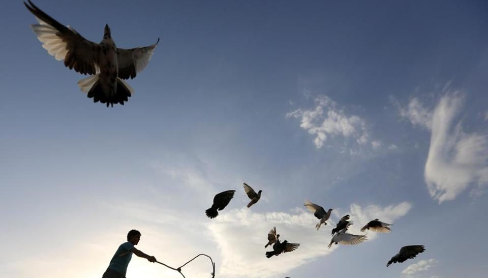 A man is seen shepherding his flock of domesticated pigeons.