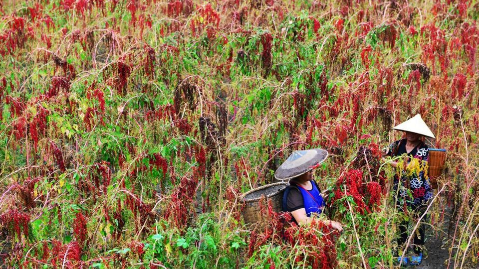 Chinese farmers harvesting red quinoa in Jianhe in China's southwestern Guizhou province. (AFP)