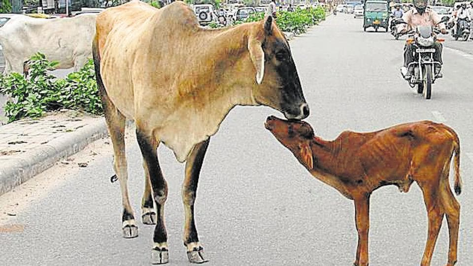60-year-old Kamleshi Devi was trying to pull the calf off the lactating cow but the rope around its neck tightened, resulting in its death.