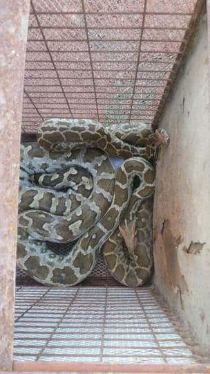 One of the two Indian rock pythons that was saved by a wildlife rescue team on Monday night.