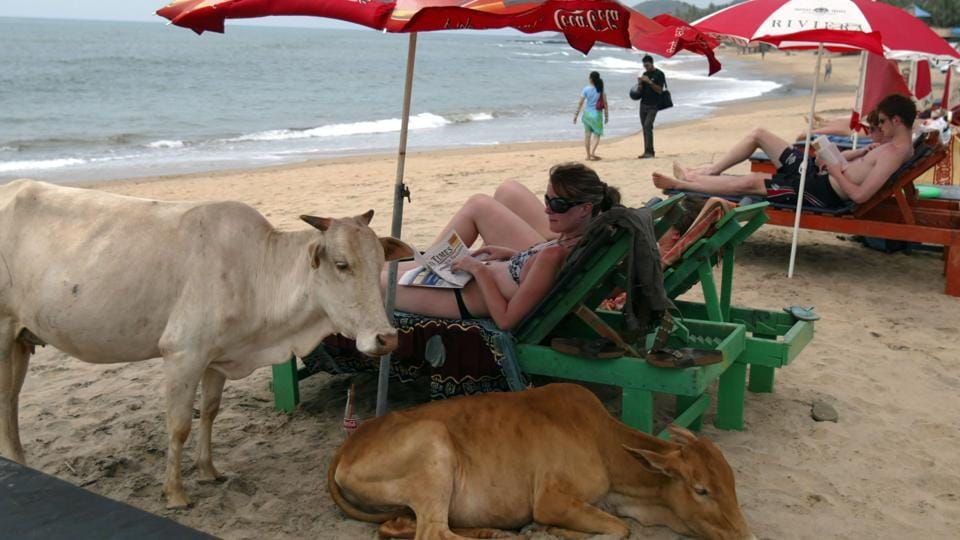 File photo from March 2008 shows western tourists relaxing next to cows on Anjuna Beach in Goa.