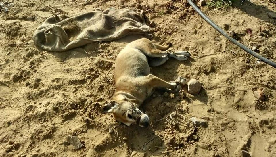 The incident allegations from animal lovers that the institute authorities got the canines killed, a charge denied by the MNIT.  The dogs died on Sunday, but the incident was not reported.