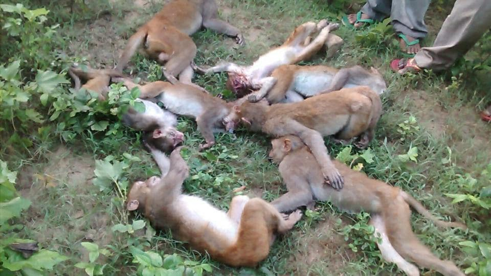 Carcasses of monkeys recovered in Aonla reserve forest area.