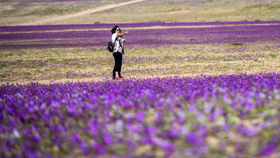 The Atacama desert is located in Chile, hundreds of kilometers from the capital Santiago. Earlier this year, what is considered the driest place in the world received an unusual amount of rain and its typically arid landscape is now covered in multicolored flowers.  (Martin Bernetti / AFP)