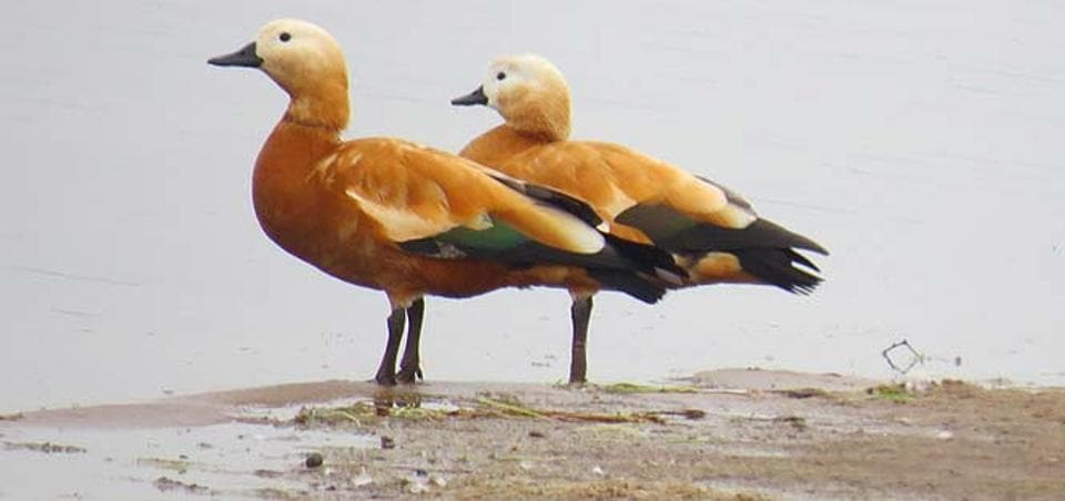 Ruddy Shelduck is a waterbird, breeds in central Asia, Siberia and migrates in winters.
