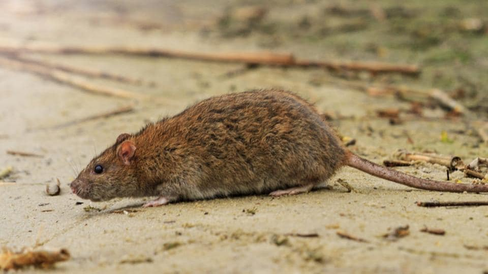 225 bites: a young French woman was attacked by evil rats