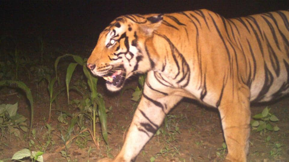 The tiger was captured in forest department cameras on September 6