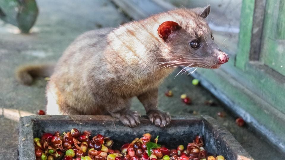 Civet coffee, a drink of elite consumed widely in the Gulf nations and Europe, is sold for Rs 20,000-25,000/kg abroad.