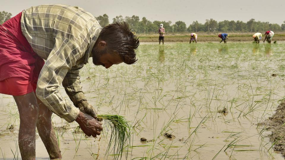 A farmer plants paddy seedlings in a field near Amritsar. Studies have found that lack of nutrients that lead to deficiency is causing a host of diseases in India. (HT file photo)
