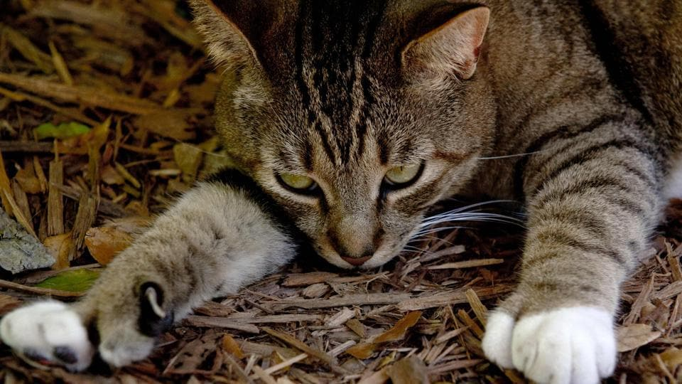 This file photo taken on February 18, 2013 shows a six-toed cat, one of many that reside at the home of author Ernest Hemingway, in Key West, Florida. Hurricane Irma may have wrought 'devastation' to the Florida Keys islands, but, much to everyone's relief, a colony of six-toed cats descended from a pet owned by writer Ernest Hemingway has survived without a scratch.