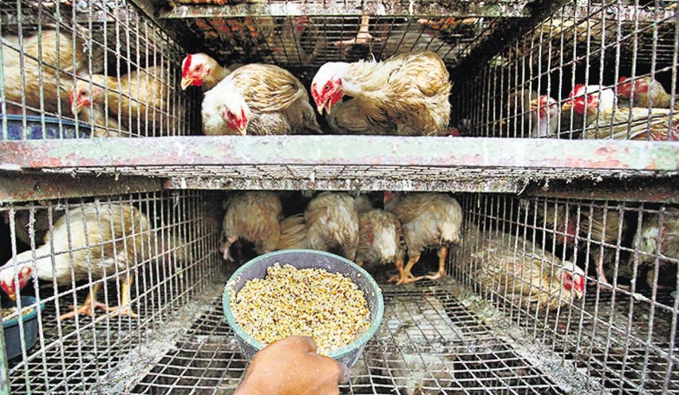 As per the Food Safety and Standards (Licensing and Registration of Food businesses) Regulation, 2011, chicken must be reared, transported and slaughtered in humane conditions.