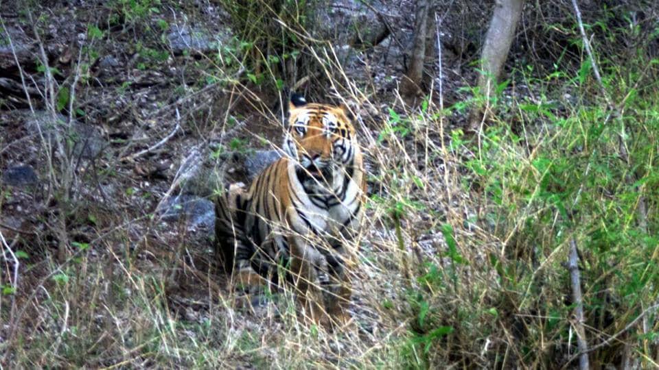 A tiger at Palamau Tiger Reserve