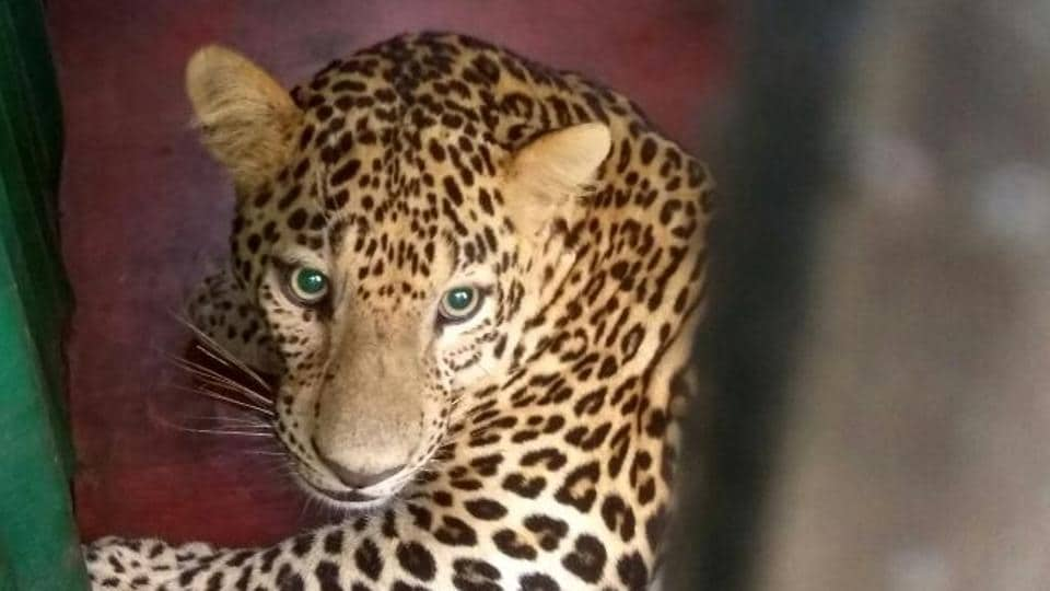 Mumbai,leopard attack,leopard trapped