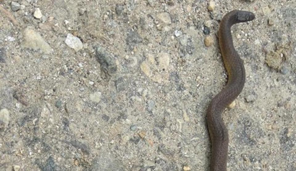 Rare Himalayan Worm Snake discovered by Wildlife Institute of India scientist