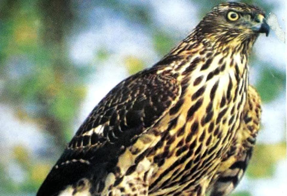 Punjab's state bird, baaz
