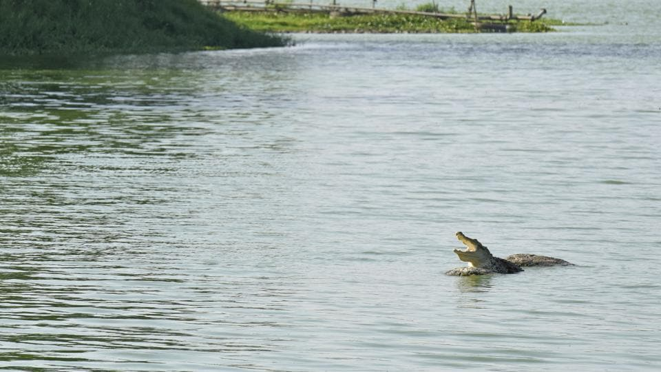 A crocodile basks on the rock inside Powai lake in Mumbai. Adults of the Deltasuchus motherali species grew up to 20 feet long and preyed on dinosaurs among other animals.