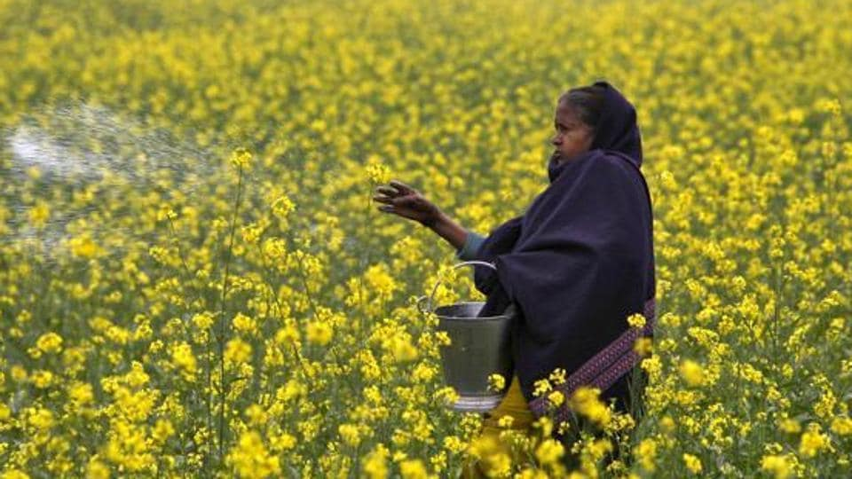Supreme Court is hearing a matter concerning the release of GMMustard in India on Monday.