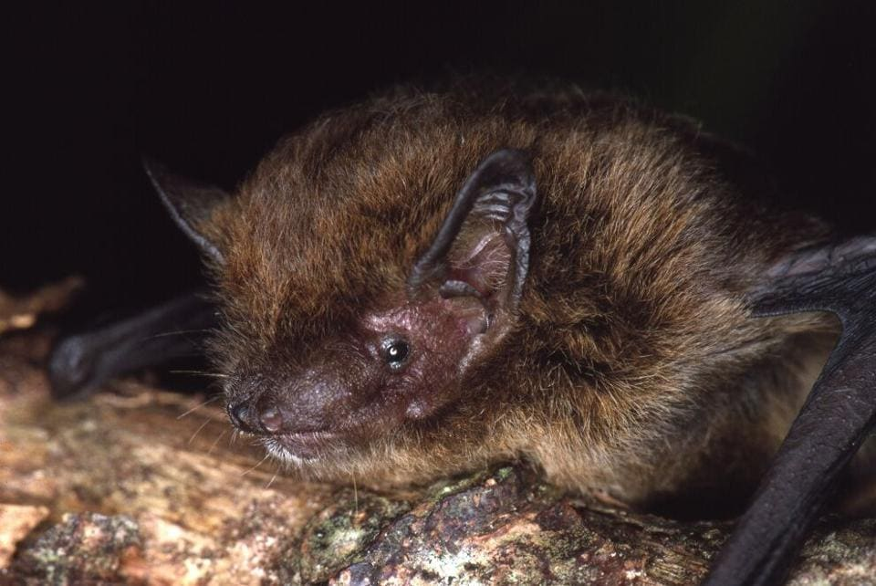 The Christmas Island Pipistrelle, a bat species endemic to Australia is now officially extinct, according to the International Union for Conservation of Nature (IUCN).